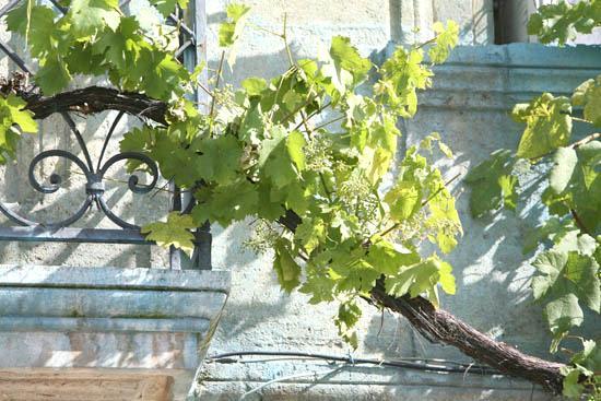 Les vignes en ville bordeaux - Quand tailler la vigne en treille ...